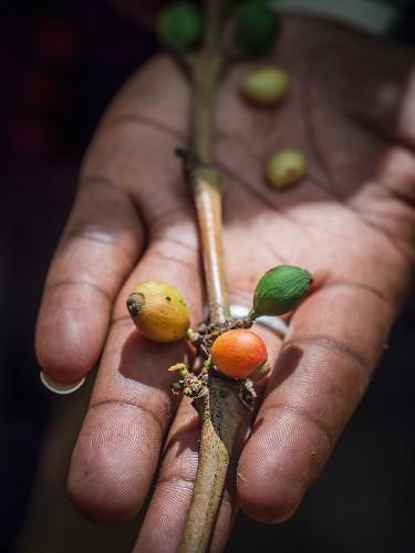 Hand hält Kaffeebohnen von einer Plantage auf Sansibar