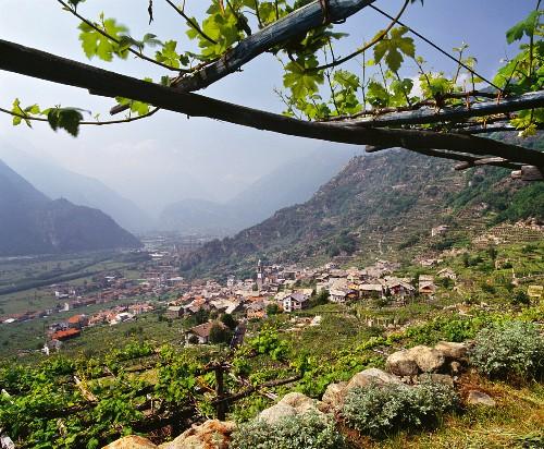 Nebbiolo Weinreben auf Pergolen über dem Dorf Carema und dem Tal des Flusses Dora Baltea, Piemont, Italien