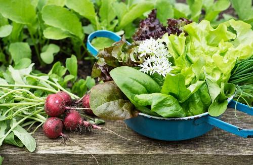 Frühlingsernte vom Hochbeet mit Radieschen, Salat und Kräutern