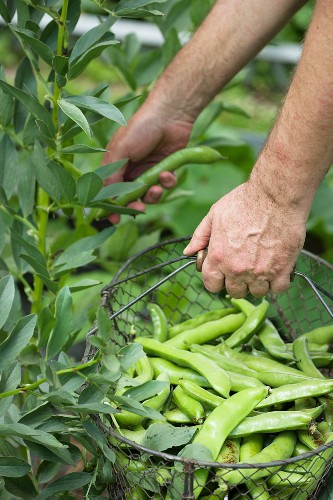 A man in a garden picking broad beans with a wire basket