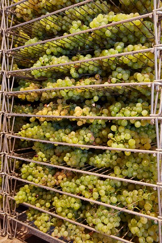 Drying bunches of Savagnin grapes on racks for Vin de Paille in a loft at the Cellier de Genne winery of Frédéric Lornet. Montigny-lès-Arsures, Jura, France. [Arbois]