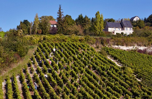 Harvesting Sauvignon Blanc grapes in steep vineyard at Sancerre. Cher, France. [Sancerre]