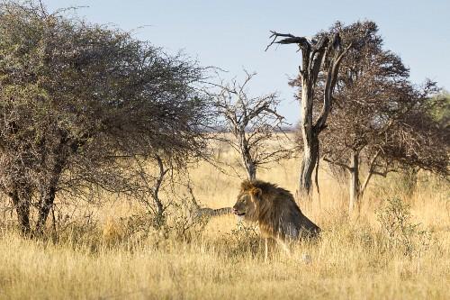 Sitzender Löwe, im Osten des Parks an der Fisher's Pan, Etosha Nationalpark, Namibia, Afrika
