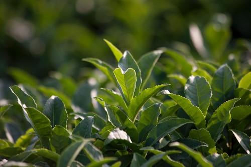 A field of green tea, Japan