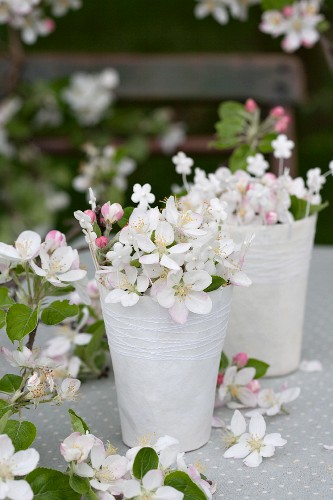 Apple blossom in paper cups
