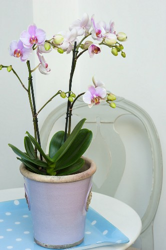 A purple and white orchid in a pastel purple pot on a polka dot tray with a Gustavian chair