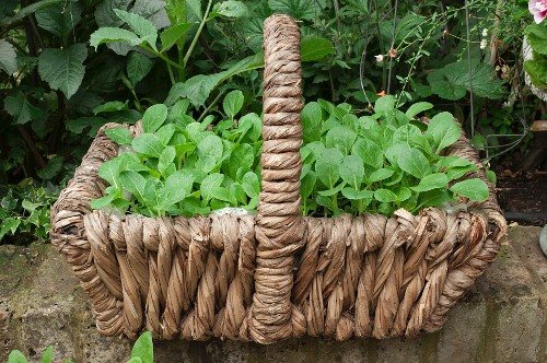 A roughly woven basket on a stone wall filled with bok choy seedlings