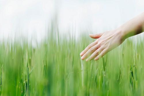 Ausgestreckte Frauenhand berührt die Spitzen von Weizenähren