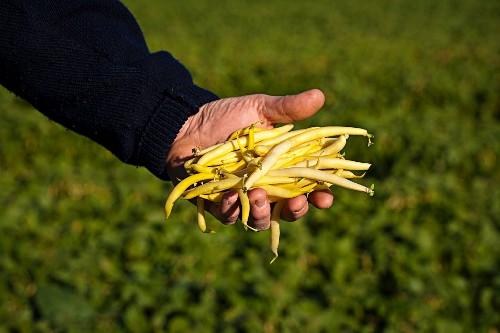 A farmer holding freshly harvested yellow beans