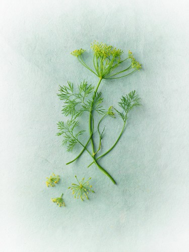 Fresh dill with flowers