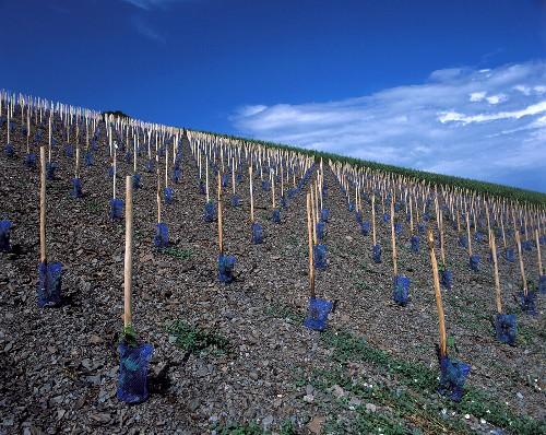New vineyard on the slaty soil of the Schwarzhofberg, Saar
