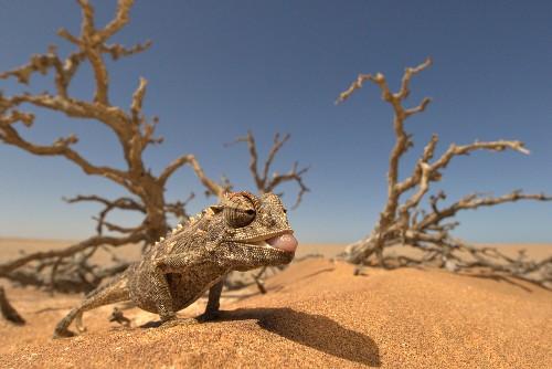 Namaqua-Chamäleon im Wüstensand, Afrika