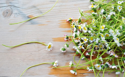Freshly picked daisies on wooden surface