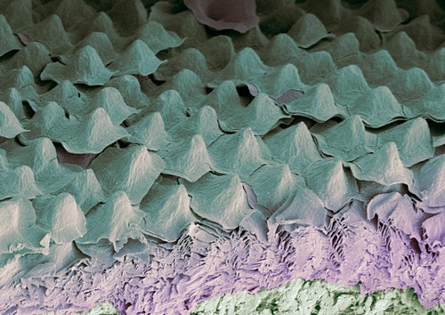 Budgerigar throat,SEM