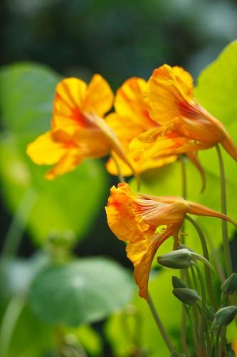 Nasturtium flowers (close-up)