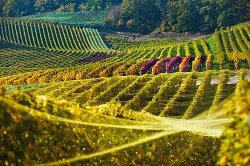 Autumnal vineyards in the Vully wine growing region at Murtensee Lake (Switzerland)