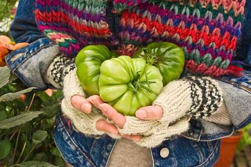 Hands holding three green tomatoes (type: costoluto florentino)
