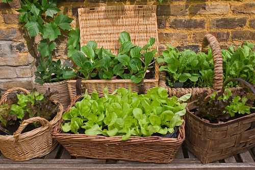 Lettuce and other vegetables in wicker planters on terrace