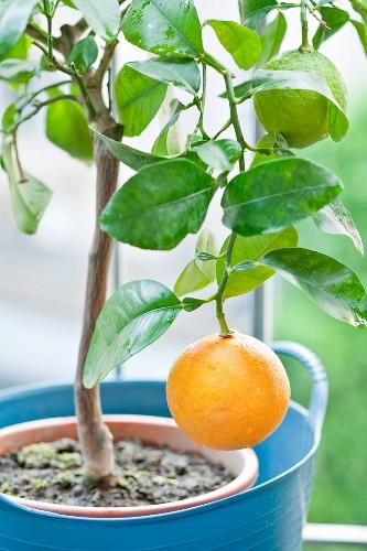 Grapefruits am Baum