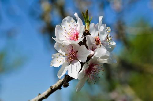Almond flowers on a branch (Majorca)