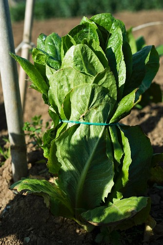 Head of lettuce bound with rubber band ready to be picked