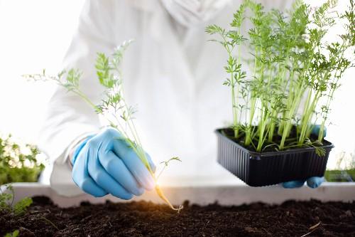 A scientist planting luminous carrots