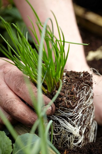 Gardening - Young chive plant being planted