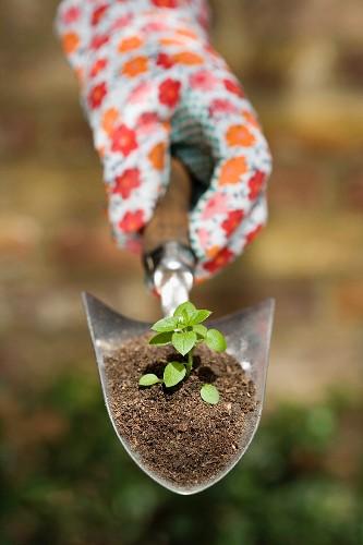 Hand holding plant on garden trowel