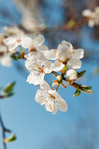 Wild plum: branch with blossoms