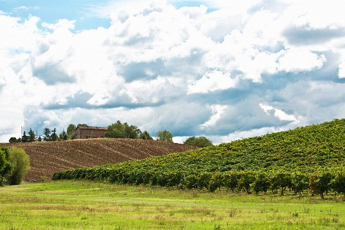 A vineyard in Emilia Romagna