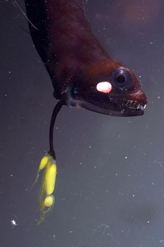 Barbeled Dragonfish