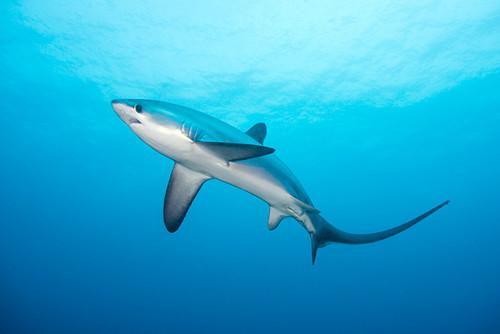 Pelagic thresher shark