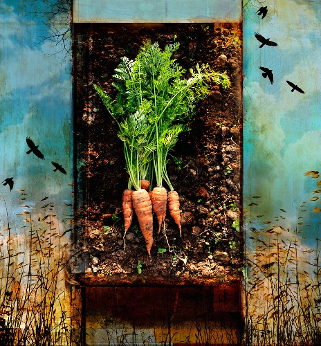 Fresh carrots with roots in soil from field