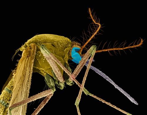 Mosquito, SEM