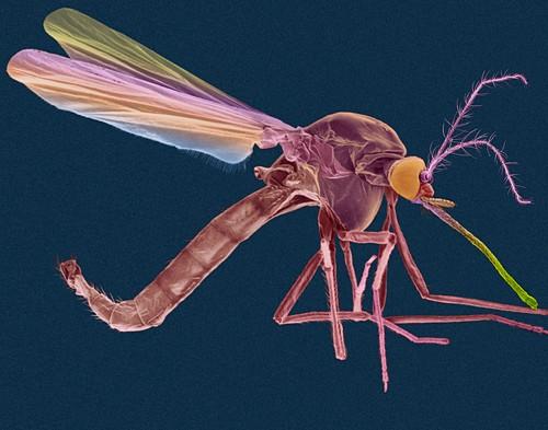 Female malaria mosquito, SEM