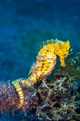 Slender sea horse