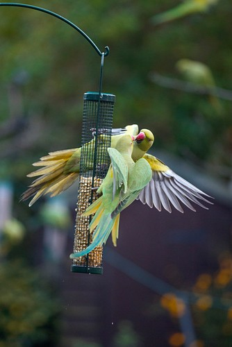 Ring-necked parakeets on a bird feeder, UK