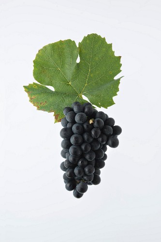The Gamay grape with a vine leaf