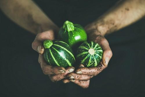 Hände halten drei frische runde grüne Zucchinis
