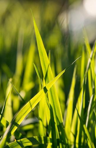 Backlit blades of grass