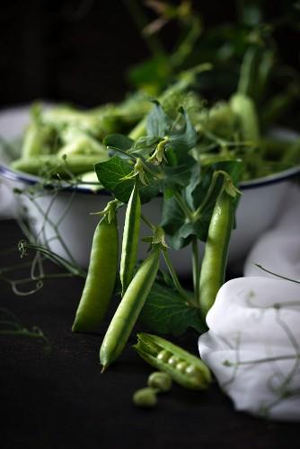 Freshly picked peapods in an enamel dish