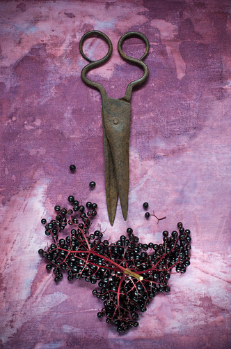Fresh elderberries and an antique pair of scissors on a purple background