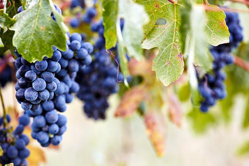 Barbera grapes on a vine at the Barnum vineyard (El Dorado, California)