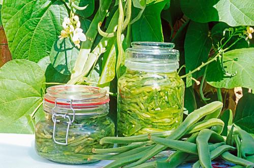 Preserved Runner beans in salt brine in jars outside with runner bean plants behind outside in summer