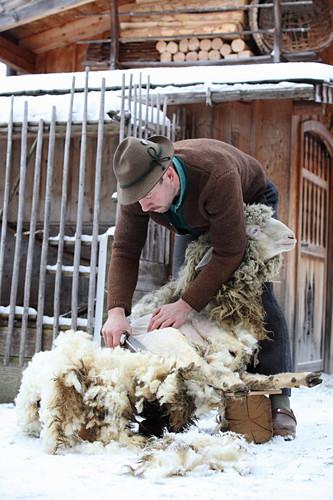 Mann beim Scheren eines Schafes