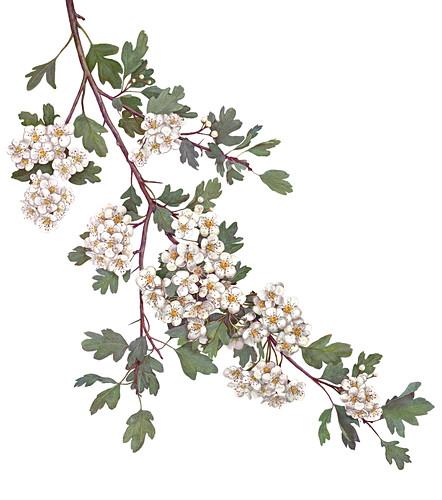 A sprig of hawthorn flowers