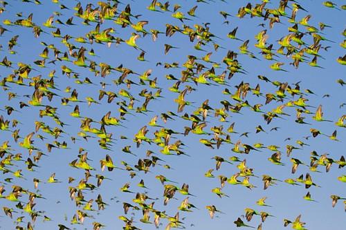 Budgerigars flocking to find water, Australia