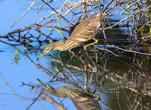 Indian pond heron hunting