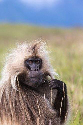 Portrait of a male Gelada baboon