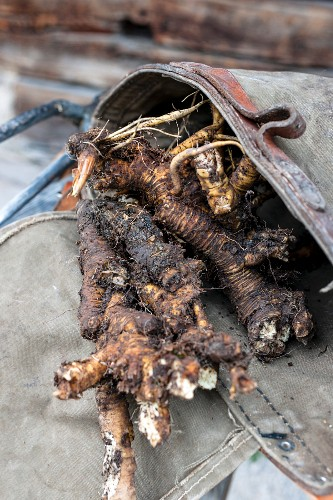 Gentian roots for a distillery, Bavaria, Germany